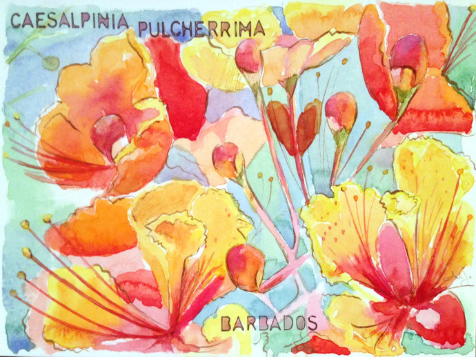 Pride-of-Barbados-M.J.Bronstein-watercolor