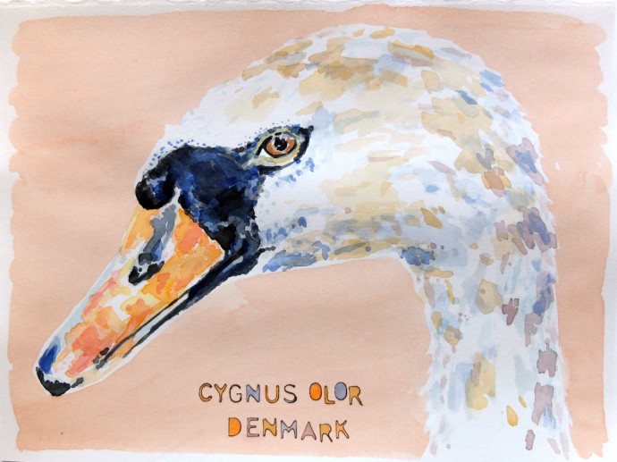 cygnus-olor-m. j. bronstein-watercolor